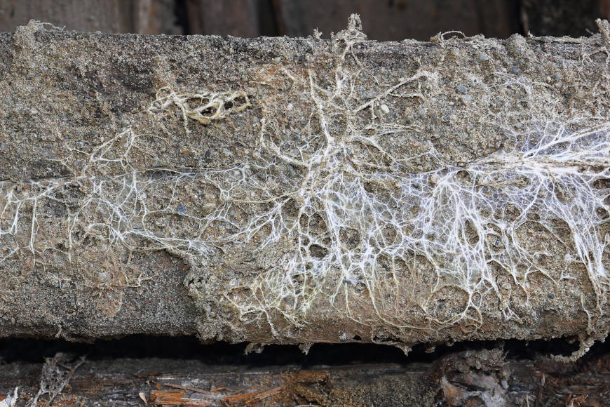 Fungus attack on wooden beam, mycelium of Serpula lacrymans and Fibroporia vaillantii