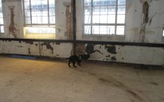Rothound investigating room for dry rot